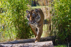 Sumatran Stalking Stock Photos