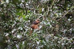 Sumatran surili Stock Image