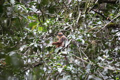 Sumatran surili Royalty Free Stock Photos