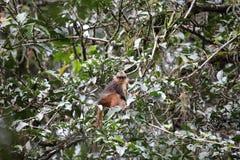 Sumatran surili Royalty Free Stock Photo