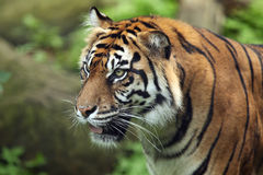 Sumatran Tiger. Closeup of a female Sumatran Tiger against a blurred background Royalty Free Stock Images