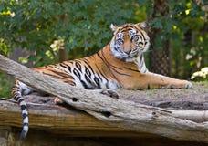 Sumatran Tiger Stockbild