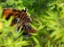 Sumatran Tiger. A photo of a Sumatran Tiger stock photography
