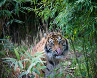 Sumatran tiger. In a forest of bamboo Royalty Free Stock Photos