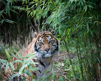 Sumatran tiger. In a forest of bamboo Royalty Free Stock Photo