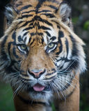 Sumatran Tiger Stockfoto
