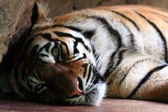 Sumatran tiger. Panthera tigris sumatrae, wildlife or Zoo Royalty Free Stock Photography