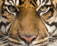 Sumatran Tiger. (panthera tigris sumatrae) looking at viewer Stock Image