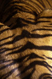 Sumatran Tiger. (panthera tigris sumatrae) closeup of fur Stock Photo