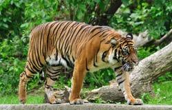 Sumatran tiger. Fidgety Sumatran tiger (Panthera tigris sumatrae) in ZOO Royalty Free Stock Photography