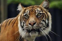 Sumatran Tiger Lizenzfreies Stockbild