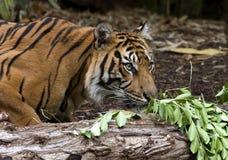 Sumatran Tiger. Female Sumatran Tiger, taken at Melbourne Zoo Royalty Free Stock Photo