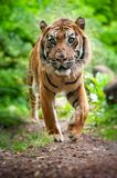 Sumatran tiger. Close up of a Sumatran tiger in the forest Stock Photos