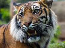 Sumatran tiger bare teeth Royalty Free Stock Photography