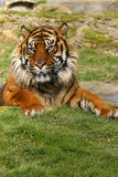 Sumatran Tiger Stock Images
