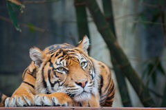 Sumatran Tiger. The Sumatran Tiger is a critically endangered species Royalty Free Stock Image