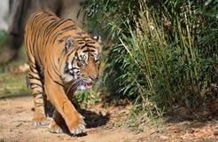Sumatran Tiger. A Sumatran Tiger (Panthera tigris) walks in the sunlight next to vegetation Royalty Free Stock Image
