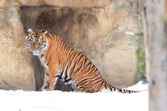 Sumatran tiger Royalty Free Stock Image