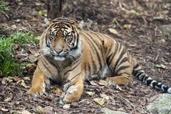 Sumatran tiger royaltyfri fotografi