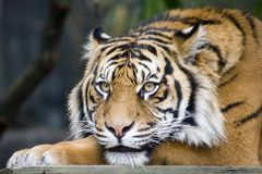 Sumatran Tiger. This picture was taken at Sydney Zoo, he looked so bored and anoyed Royalty Free Stock Photography