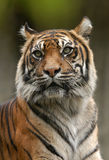 Sumatran Tiger. A Sumatran tiger (Panthera tigris sumatrae) at Jihlava Zoo in Eastern Bohemia, Czech Republic. A Sumatran tiger, the smallest of tigers, only Royalty Free Stock Photo