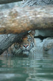 Sumatran-Tiger Stockbild