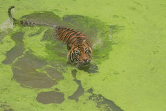 Sumatran Tiger Lizenzfreie Stockfotografie