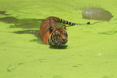 Sumatran Tiger Stockbild