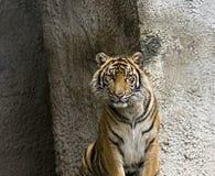 Sumatran-Tiger Stockbild