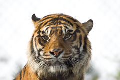 Sumatran tiger. A beautiful cat head portrait of a male Sumatran Tiger with dangerous facial expression staring Stock Photography