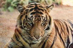 Sumatran tiger Royaltyfri Bild