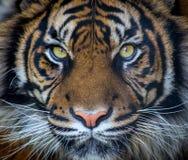 Sumatran Tiger Lizenzfreie Stockfotos