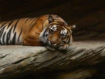 Sumatran tiger Arkivbild