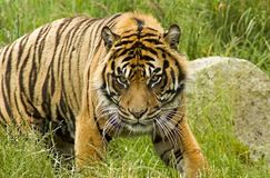 Sumatran Tiger. Lounging on a grassy hillside royalty free stock image