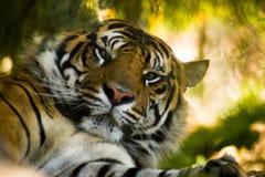 Sumatran tiger Fotografering för Bildbyråer