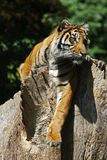 Sumatran Tiger. A Sumatran tiger (Panthera tigris sumatrae) on a tree stump Royalty Free Stock Photo