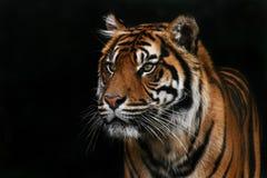 Sumatran Tiger stockbilder