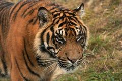 Sumatran tiger approaching the camera Royalty Free Stock Photo