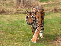Sumatran tiger approaching the camera Stock Photo