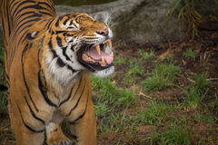 Sumatran Tiger Bearing His Teeth Royaltyfri Fotografi