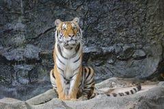 Sumatran tiger Royalty Free Stock Photography