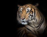 Sumatran tiger on a black background. stock photos