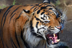 Sumatran Tiger. CJ a Sumatran Tiger growls and vocalizes for his ball in the water at the Los Angeles Zoo Stock Photography
