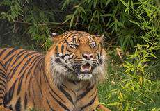 Sumatran tiger Stock Photos