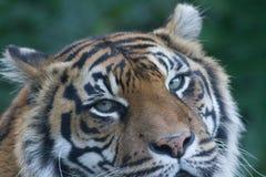 Sumatran tiger closeup at Auckland Zoo, New Zealand. Sumatran tiger head closeup at Auckland Zoo, New Zealand staring at camera Stock Images