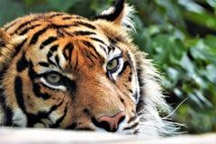 Sumatran tiger in closeup royalty free stock images