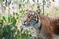 Sumatran tiger. Closeup at zoo Stock Photos