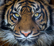 Sumatran tiger royalty free stock photos