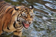 Sumatran tiger cub Stock Image