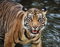 Sumatran tiger cub. In the stream Stock Photo